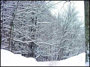 snowy covered trees